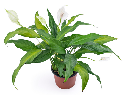 Peace Lily beauty and health